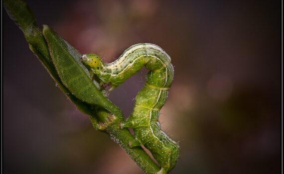 Inch Worm on Plant Stem